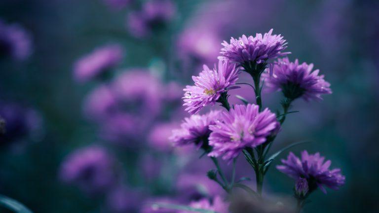 สวนดอกไม้เมืองหนาว สวนดอกไม้ดาลัด
